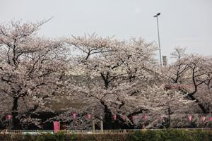 隅田川両岸の桜風景